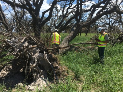 A Texas A&M Forest Service Urban Strike Team updating information in real-time on a damaged Live oak tree in Rockport, Texas.
