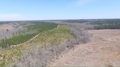 Reforestation in progress -- Healthy planted pine trees of various ages are thriving alongside mature hardwoods on a once-cleared tract of forestland in South Carolina (photo courtesy of the South Carolina Forestry Commission).